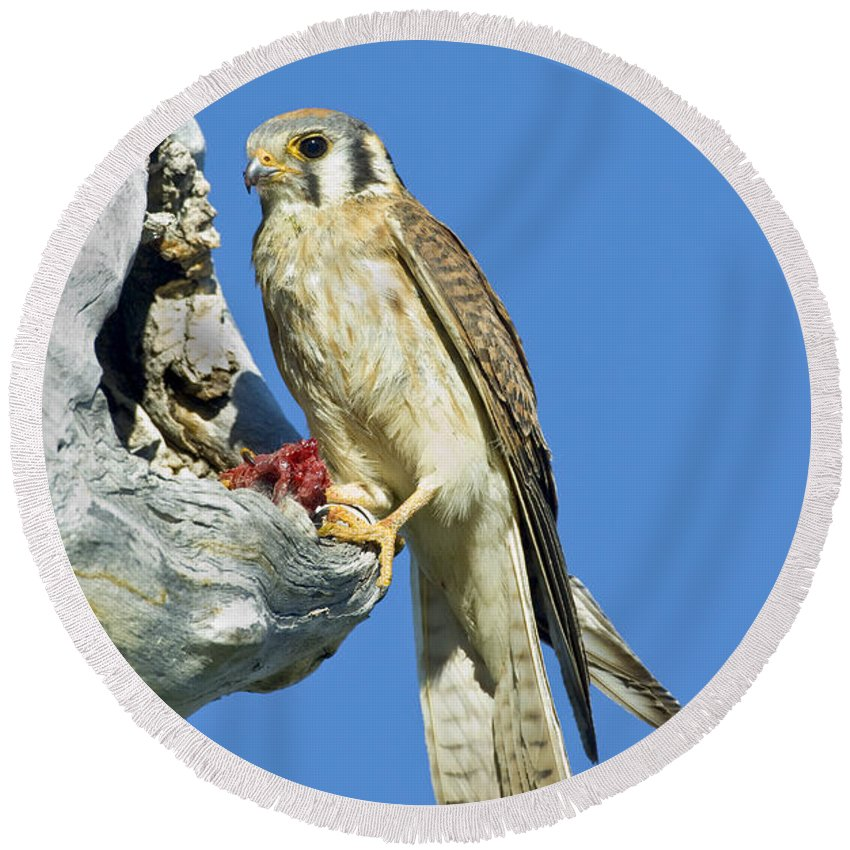 Fauna Round Beach Towel featuring the photograph Kestrel At Nest by Anthony Mercieca