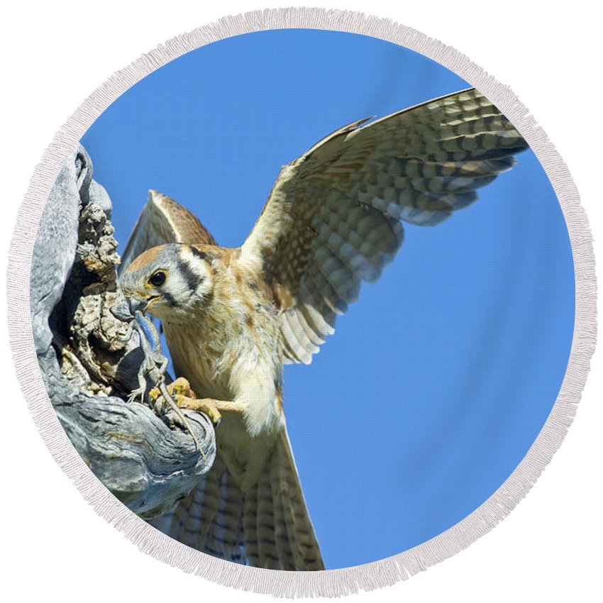 Fauna Round Beach Towel featuring the photograph Kestrel With Lizard by Anthony Mercieca