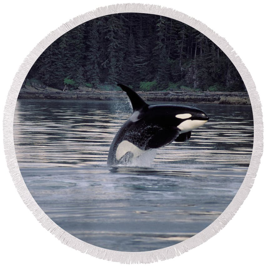 Animal Round Beach Towel featuring the photograph Killer Whale Orcinus Orca Breaching by Ron Sanford