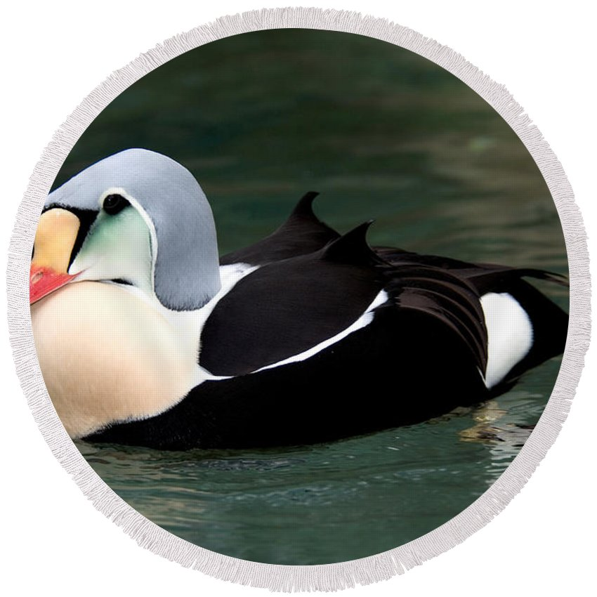 Duck Round Beach Towel featuring the photograph King Eider by Anthony Mercieca