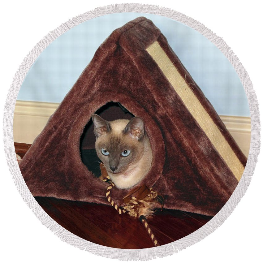 Tonkinese Kitten Round Beach Towel featuring the photograph Kitty A-frame by Sally Weigand