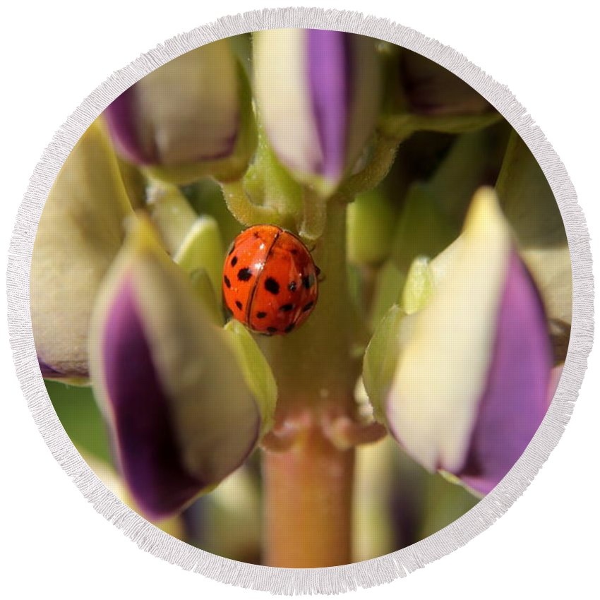 Insect Round Beach Towel featuring the photograph Lady Bug On Lupine by Kenny Glotfelty