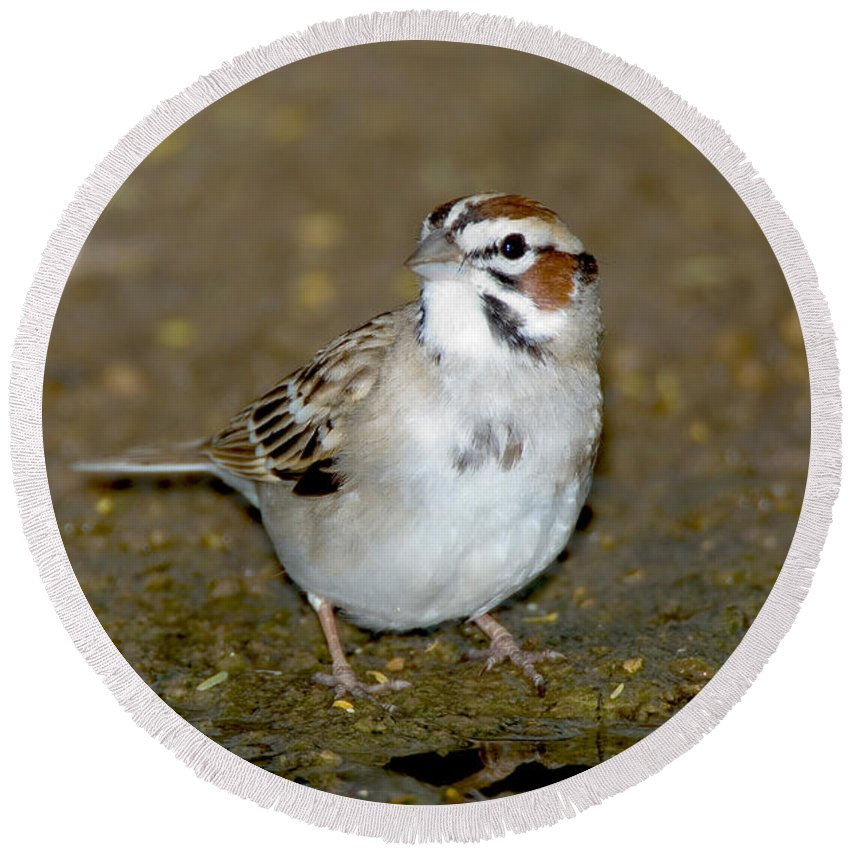Animal Round Beach Towel featuring the photograph Lark Sparrow by Anthony Mercieca