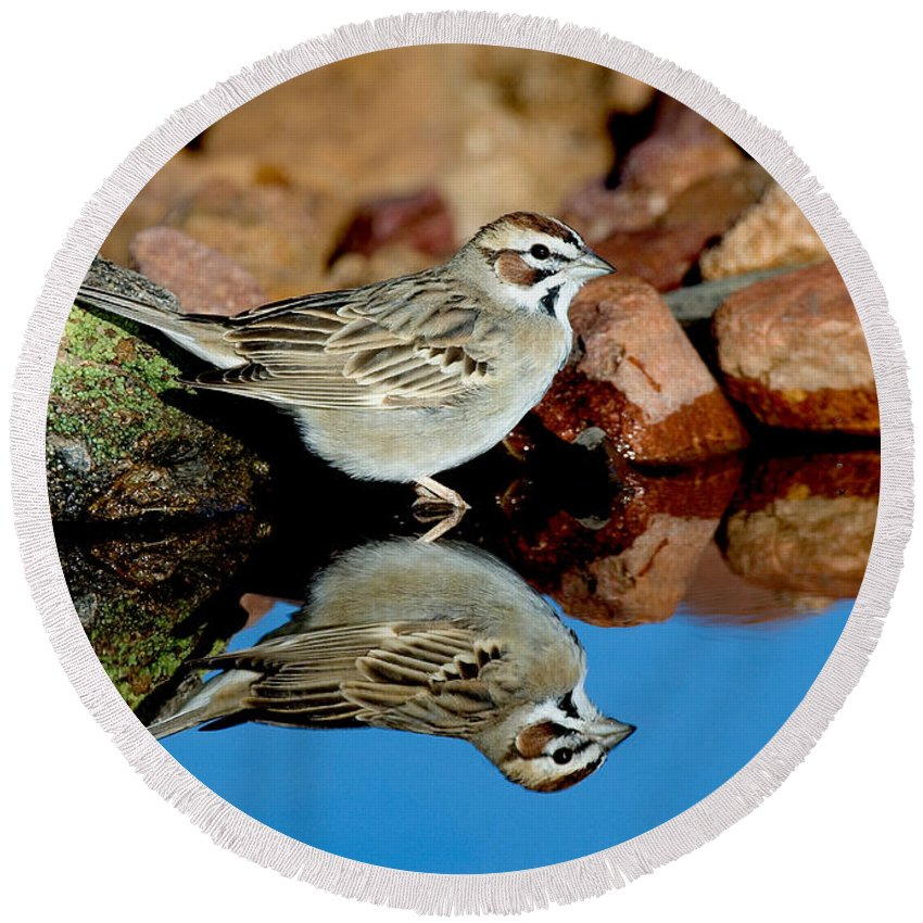 Fauna Round Beach Towel featuring the photograph Lark Sparrow Chondestes Grammacus by Anthony Mercieca