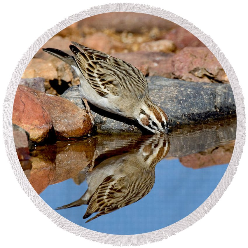 Fauna Round Beach Towel featuring the photograph Lark Sparrow Drinking by Anthony Mercieca
