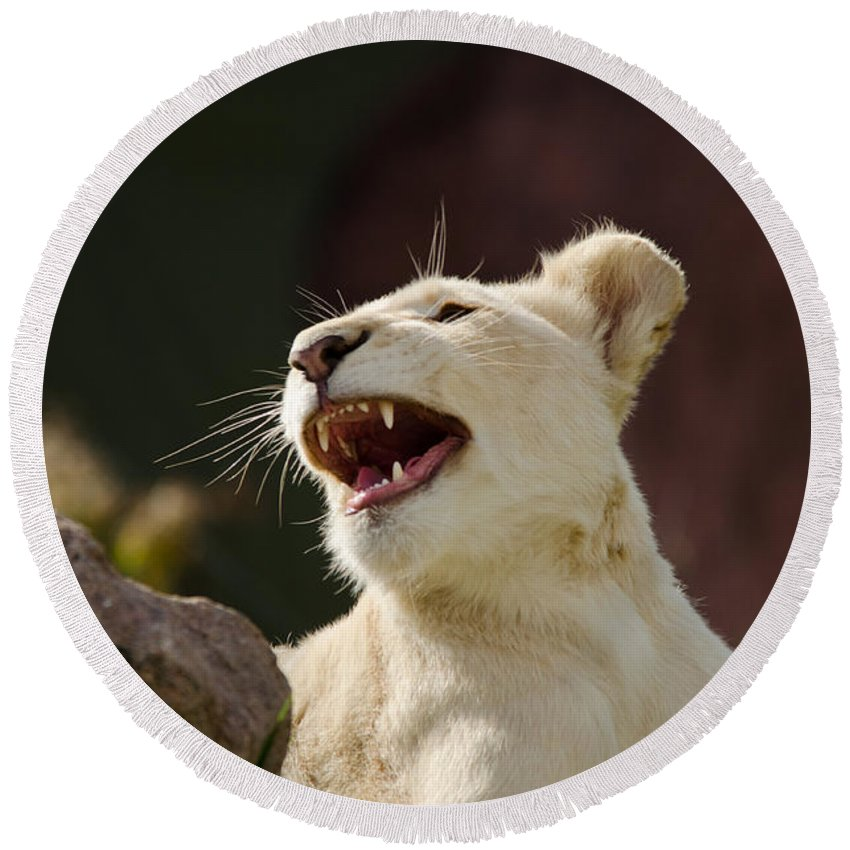 White Round Beach Towel featuring the photograph Laughing Lioness by Les Palenik