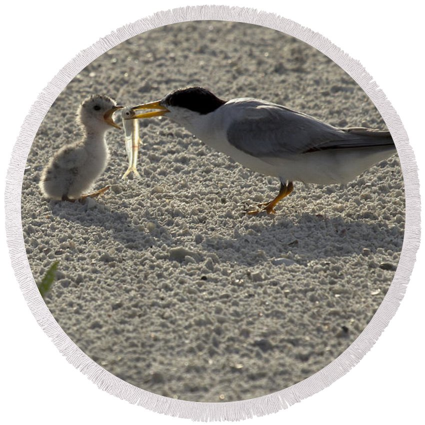 Least Tern Round Beach Towel featuring the photograph Least Tern Feeding It's Young by Meg Rousher