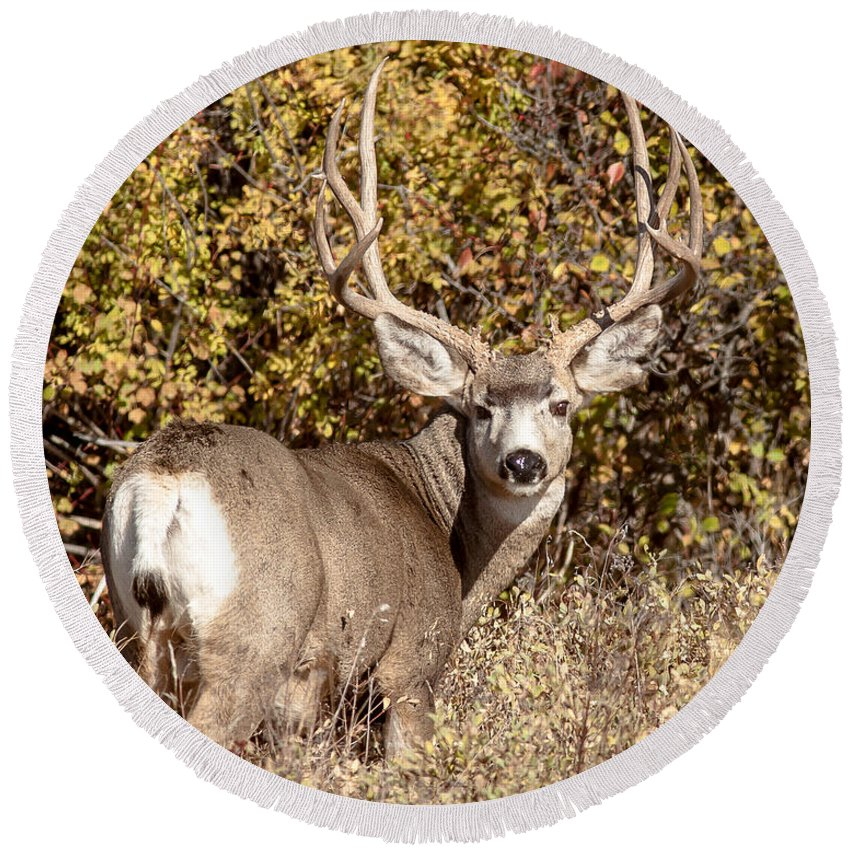 Mule Deer Round Beach Towel featuring the photograph Legend Of The Fall by Jack Bell