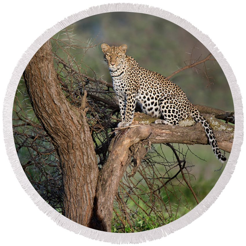 Photography Round Beach Towel featuring the photograph Leopard Panthera Pardus Sitting by Panoramic Images