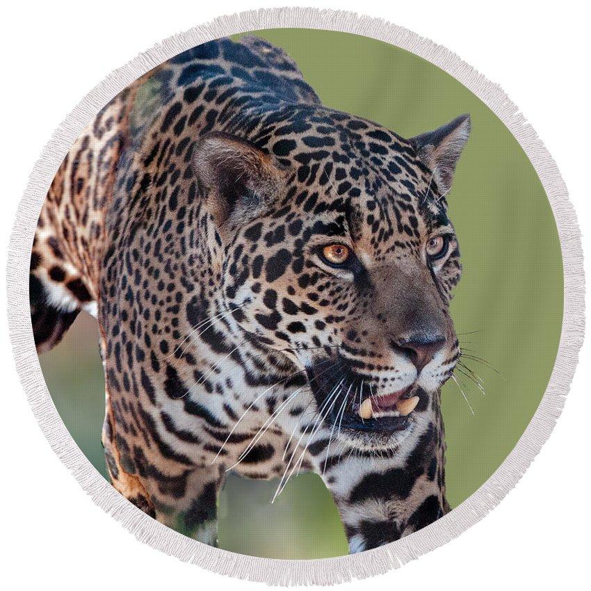 Animal Round Beach Towel featuring the photograph Jaguar Walking Portrait by William Bitman