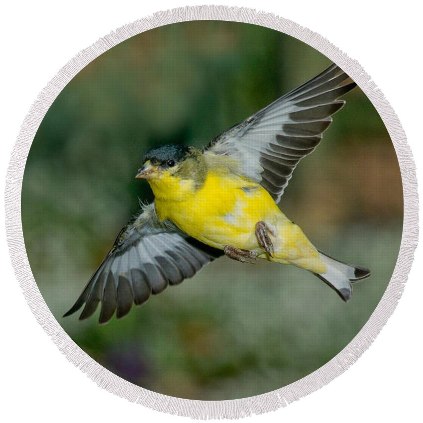 Lesser Goldfinch Round Beach Towel featuring the photograph Lesser Goldfinch Male-flying by Anthony Mercieca