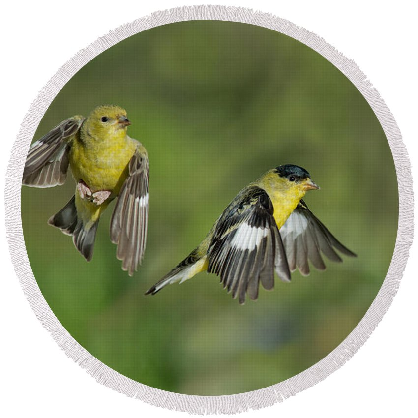 Lesser Goldfinch Round Beach Towel featuring the photograph Lesser Goldfinch Pair In Flight by Anthony Mercieca
