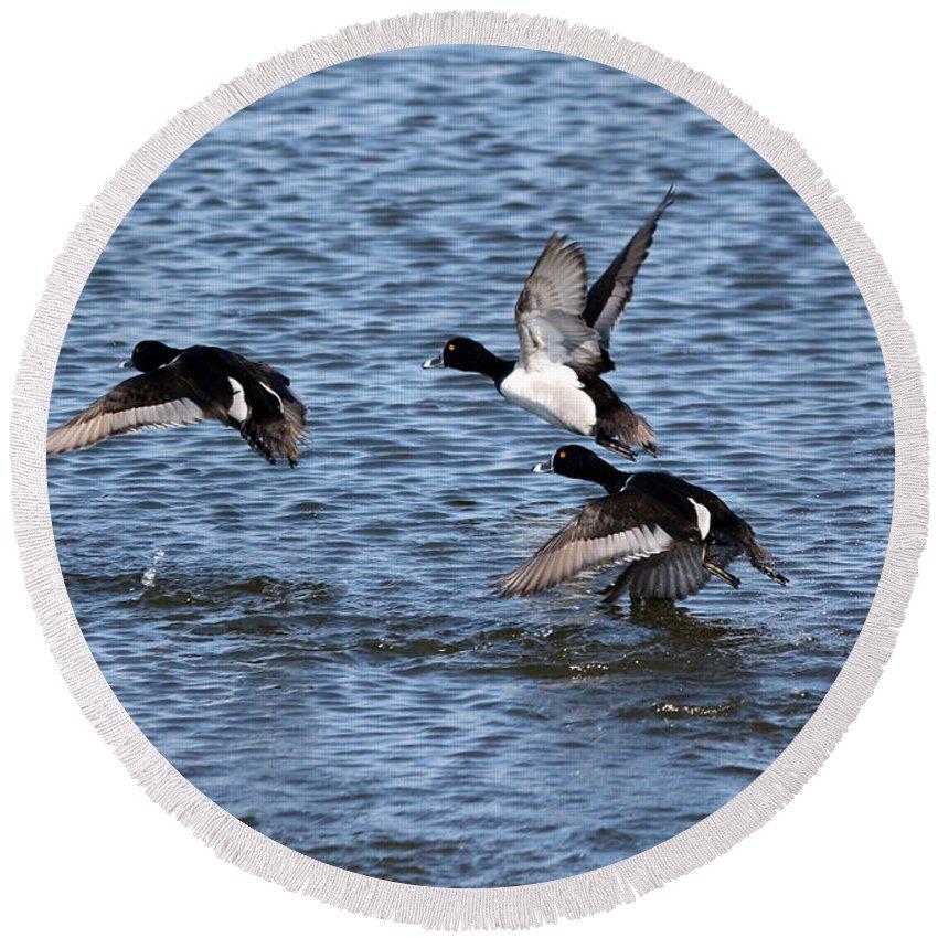 Lesser Scaup Duck Round Beach Towel featuring the photograph Lesser Scaup Ducks by Lori Tordsen