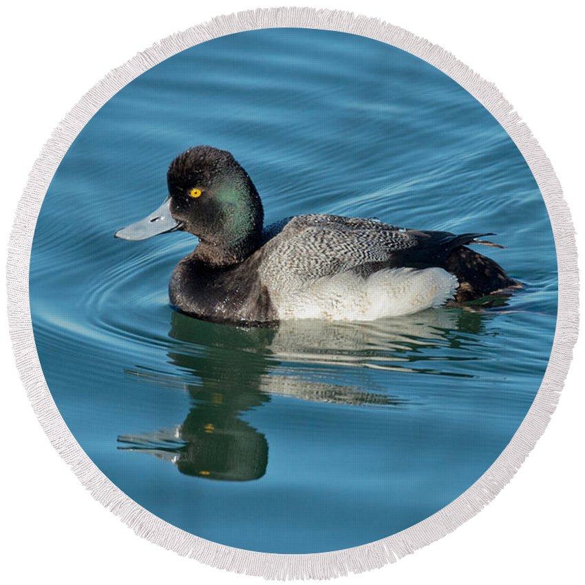 Nature Round Beach Towel featuring the photograph Lesser Scaup Male Swimming by Anthony Mercieca