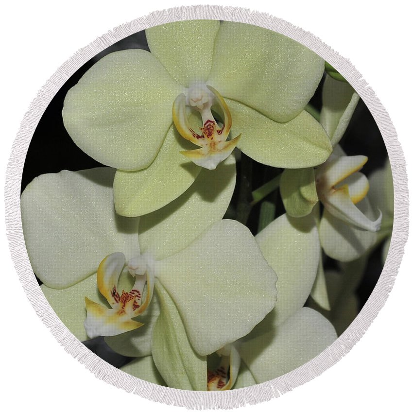 Green Orchid Round Beach Towel featuring the photograph Light Green Phalaenopsis 1 Of 3 by Terri Winkler
