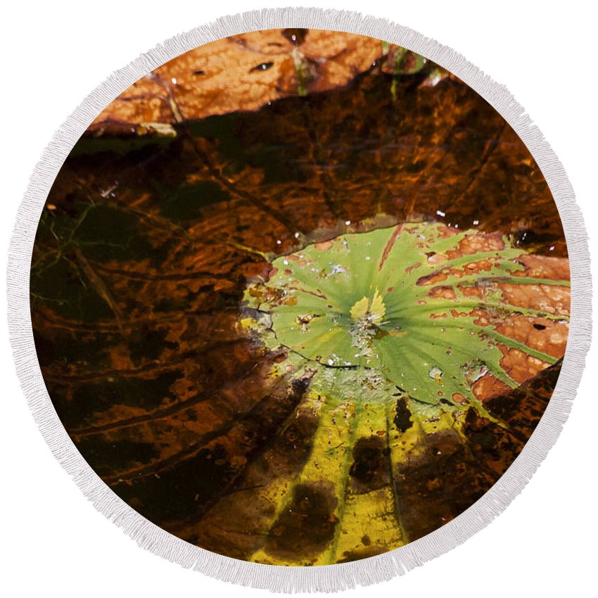 Black Bayou Lake National Wildlife Refuge Monroe Louisiana Colored Lily Pads Large Big Pad Detail Water Still Life Nature Round Beach Towel featuring the photograph Lily Pad Color by Bob Phillips