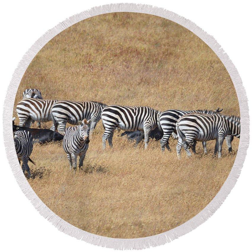 Zebra Round Beach Towel featuring the photograph Line Em Up by Lynn Bauer