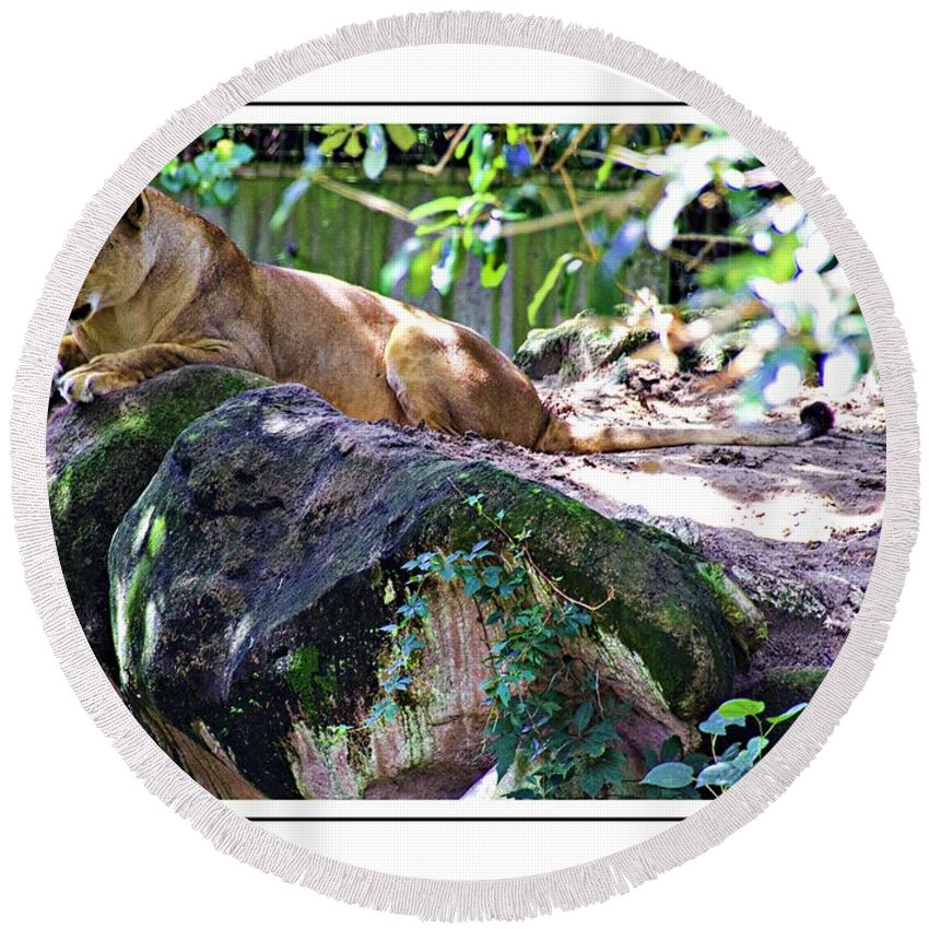 Lion Round Beach Towel featuring the photograph Lion Resting by Alice Gipson
