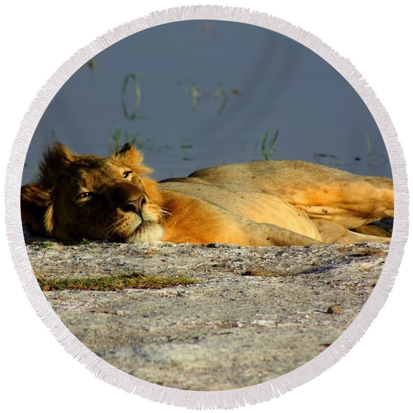 Lion Round Beach Towel featuring the photograph Lion Resting by Amanda Stadther