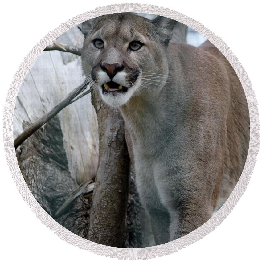 Lioness Round Beach Towel featuring the photograph Lioness by FL collection
