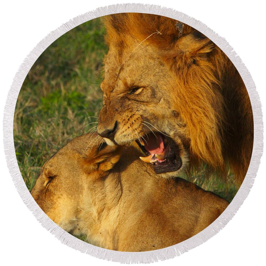Lions Round Beach Towel featuring the photograph Roar by Naoki Takyo