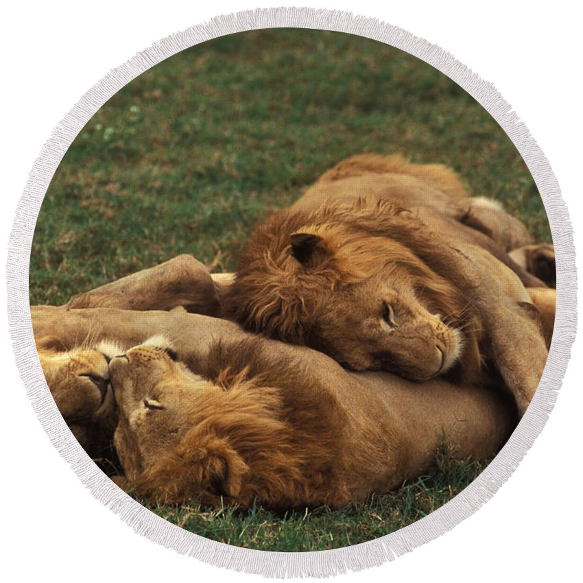 Fauna Round Beach Towel featuring the photograph Lions by Ron Sanford
