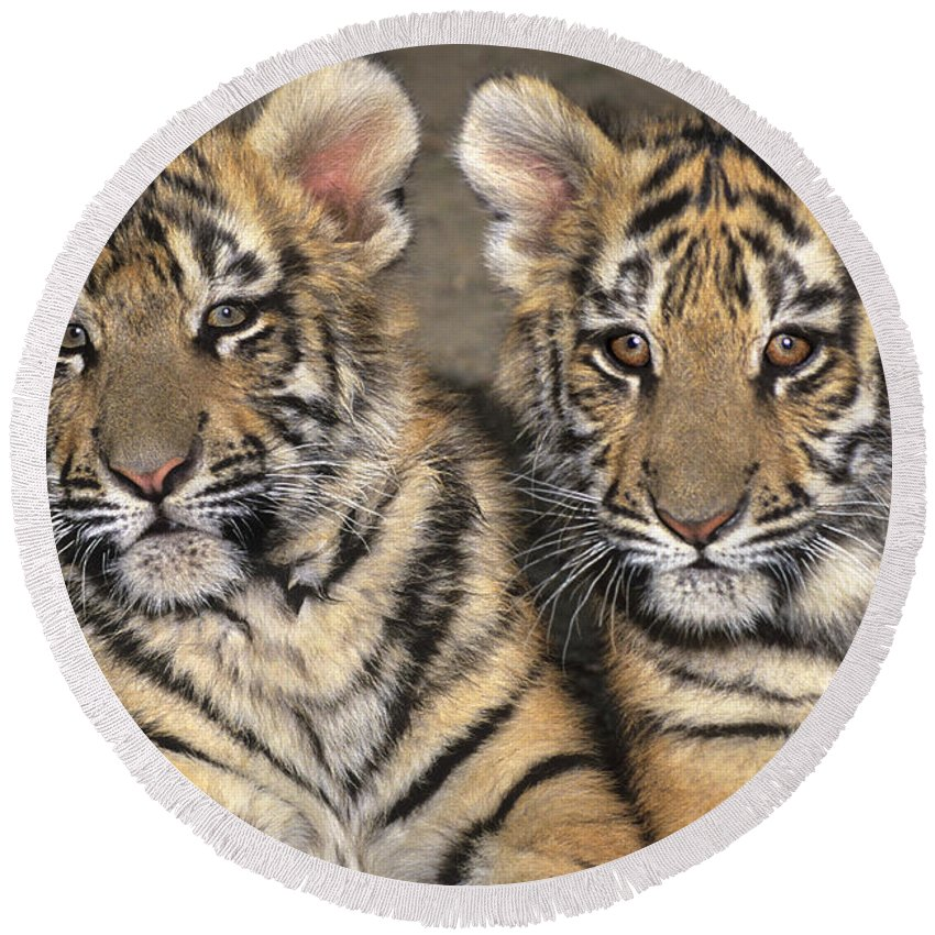 Bengal Tigers Round Beach Towel featuring the photograph Little Angels Bengal Tigers Endangered Wildlife Rescue by Dave Welling