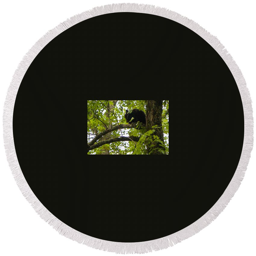 American Black Bear Round Beach Towel featuring the photograph Little Bear Cub In Tree Cades Cove by Cynthia Woods