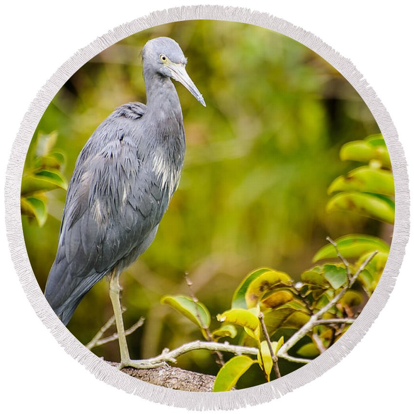Animal Round Beach Towel featuring the photograph Little Blue Heron by Charles Dobbs