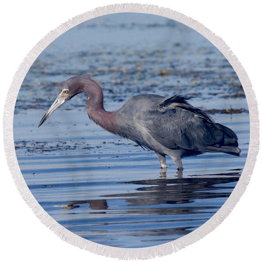 Fauna Round Beach Towel featuring the photograph Little Blue Heron Egretta Caerulea by Anthony Mercieca