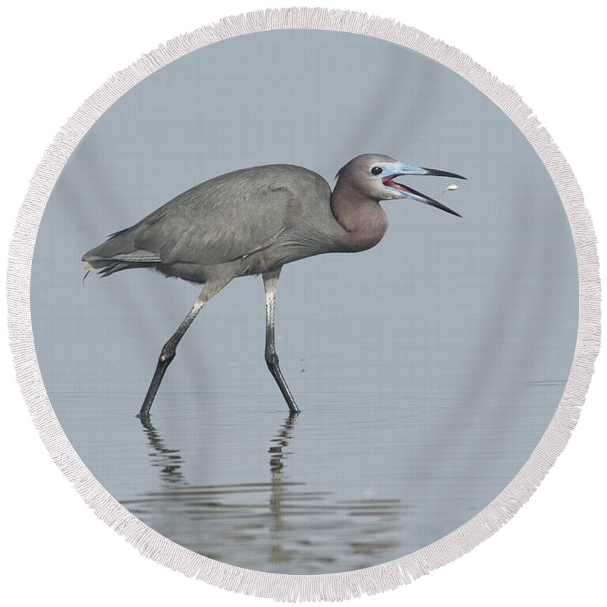 Little Blue Heron Round Beach Towel featuring the photograph Little Blue Heron With Fish by Anthony Mercieca