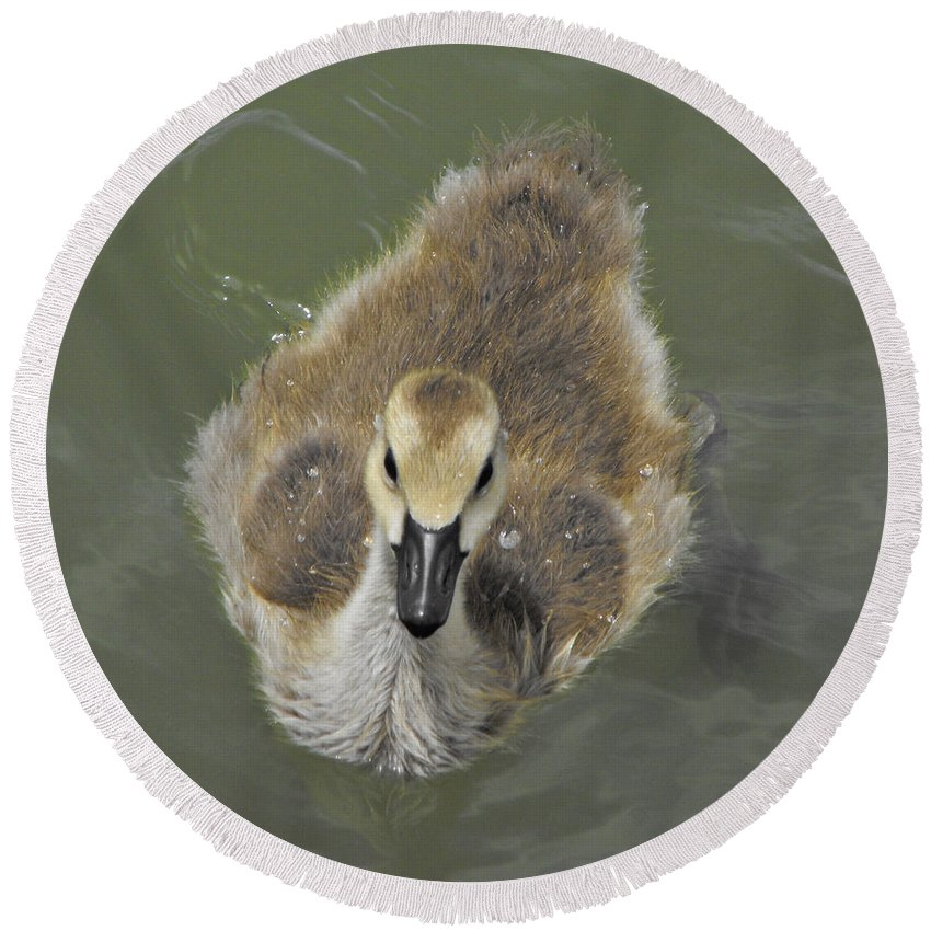 Duck Round Beach Towel featuring the photograph Little Guy by Brandi Maher