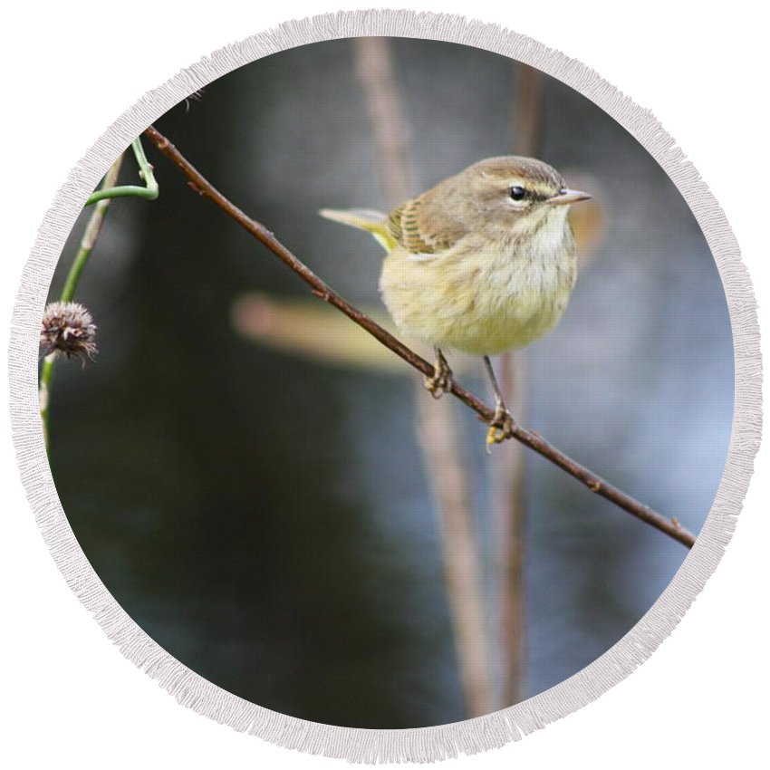 Yellow Bird Round Beach Towel featuring the photograph Little Yellow Bird In The Glades by Christiane Schulze Art And Photography