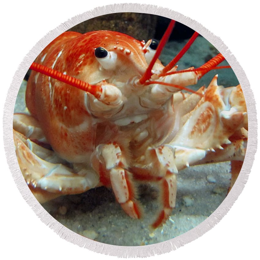 Seafood Round Beach Towel featuring the photograph Lobster by Bob Slitzan