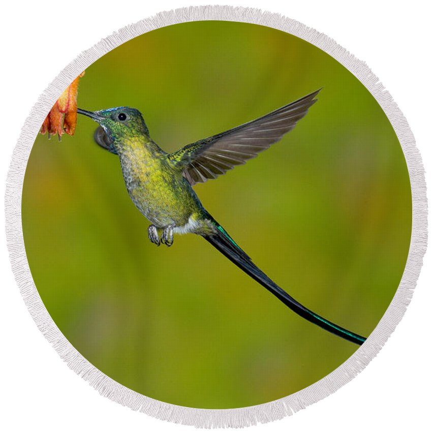 Fauna Round Beach Towel featuring the photograph Long-tailed Sylph by Anthony Mercieca