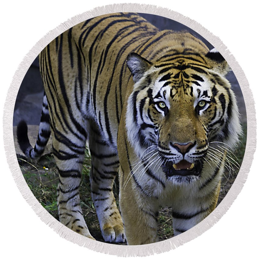 Tigers Round Beach Towel featuring the photograph Looking For Lunch by Ken Frischkorn