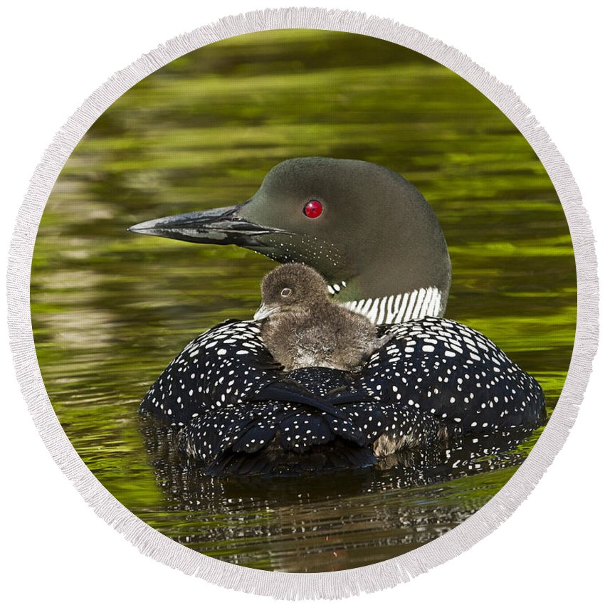 Common Loon Round Beach Towel featuring the photograph Loon Chick Rides On A Parents Back by John Vose