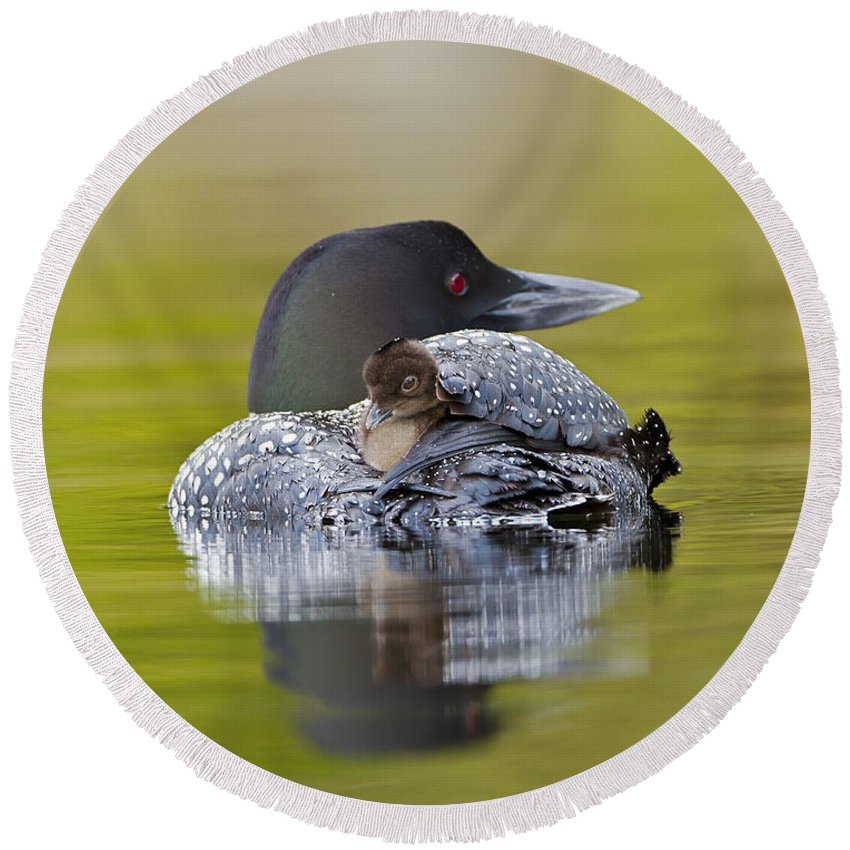 Common Loon Round Beach Towel featuring the photograph Loon Chick Resting On Parents Back by John Vose