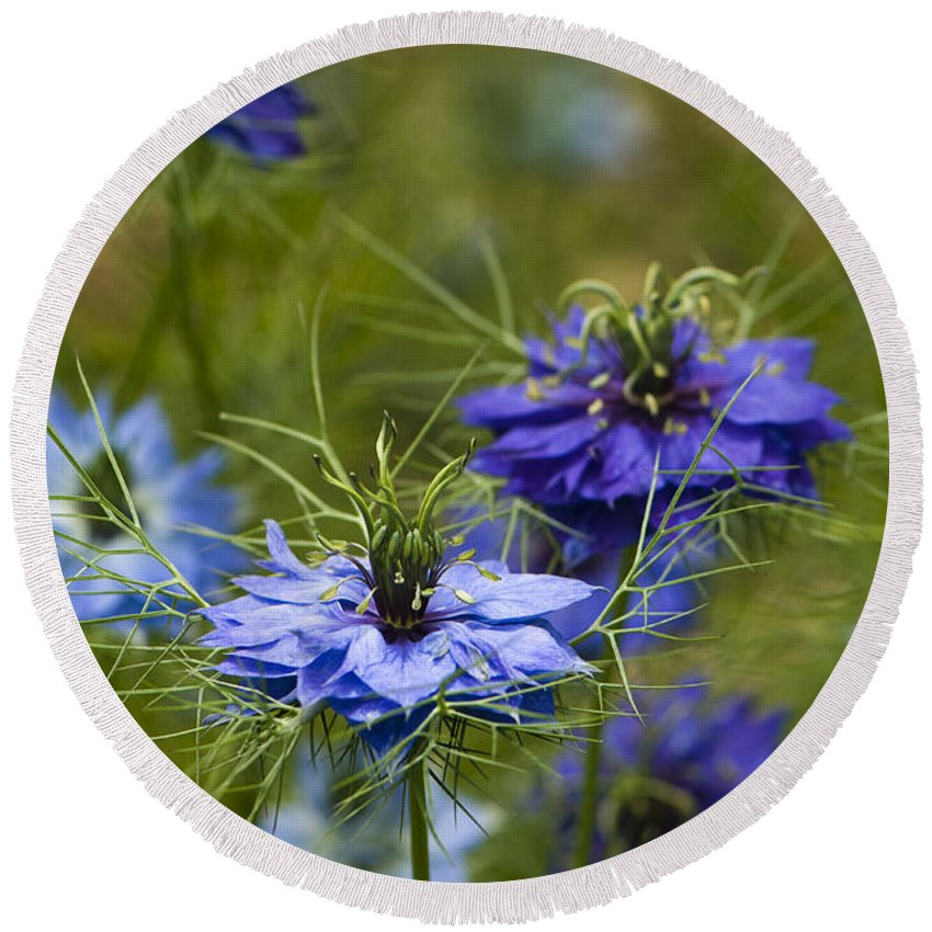 Garden Round Beach Towel featuring the photograph Love In A Mist by Anne Gilbert