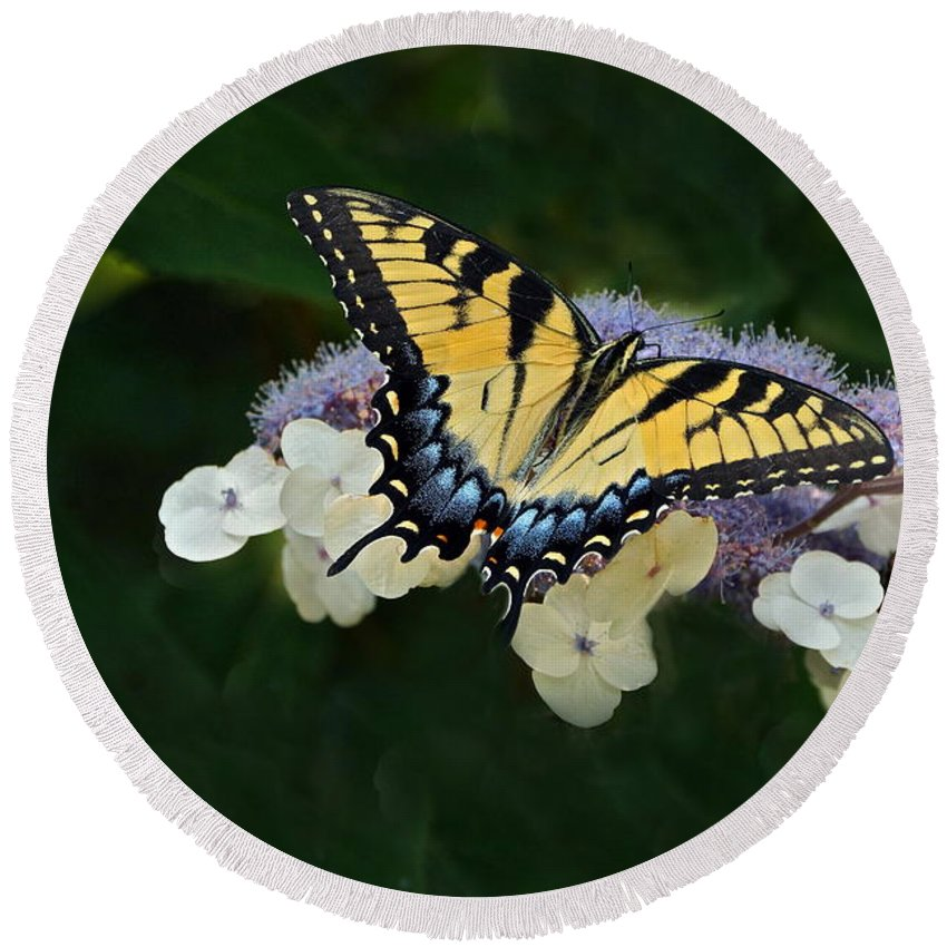 Female Tiger Swallowtail On Lacecap Hydrangea Round Beach Towel featuring the photograph Luminous Butterfly On Lacecap Hydrangea by Byron Varvarigos