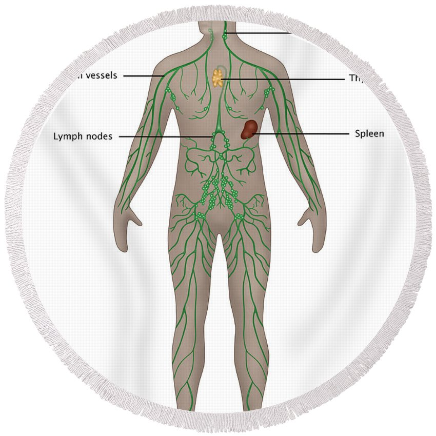 Science Round Beach Towel featuring the photograph Lymphatic System In Male Anatomy by Gwen Shockey
