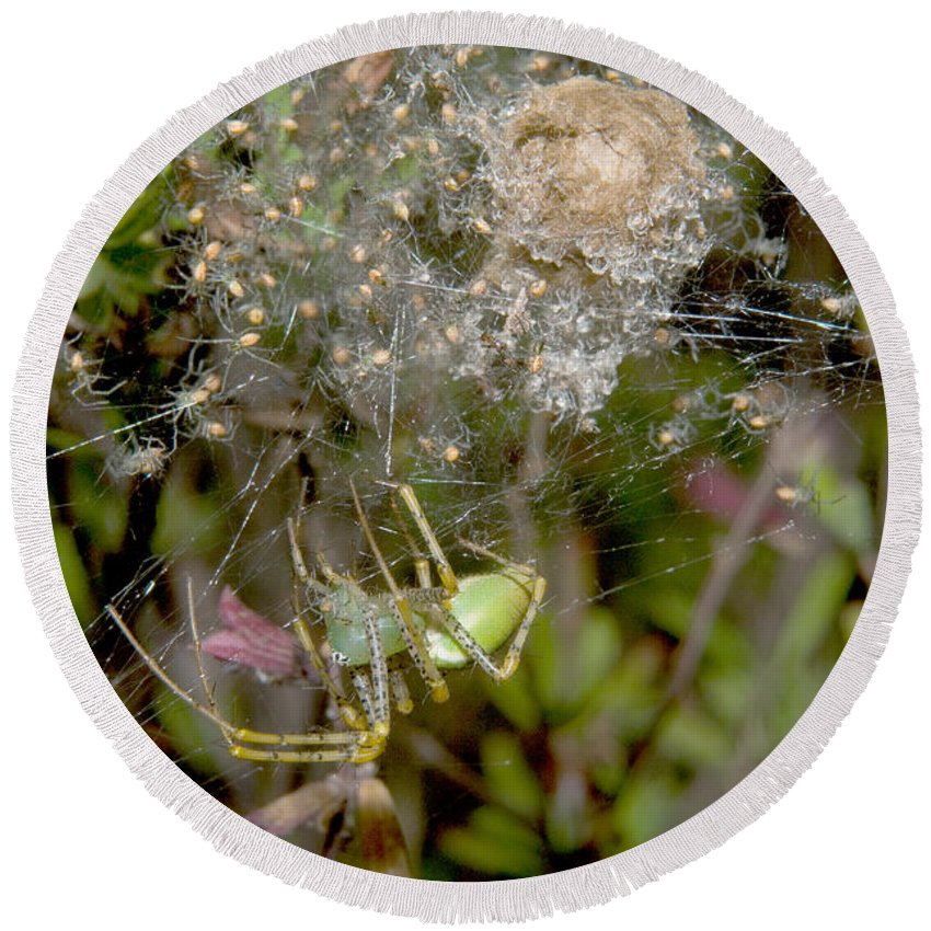 Lynx Spider Round Beach Towel featuring the photograph Lynx Spider And Young by Anthony Mercieca