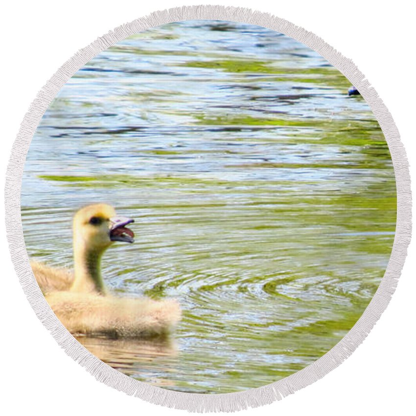 Gosling Round Beach Towel featuring the photograph Ma Mommy Ma Ma by Art Dingo