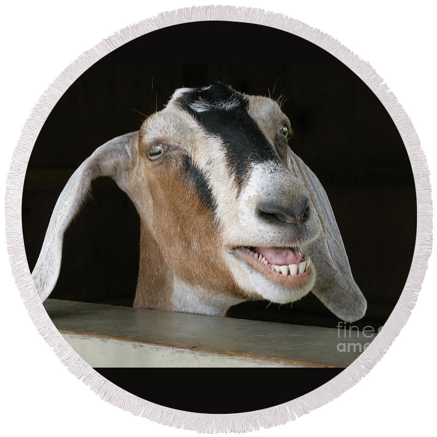 Goat Round Beach Towel featuring the photograph Maa-aaa by Ann Horn