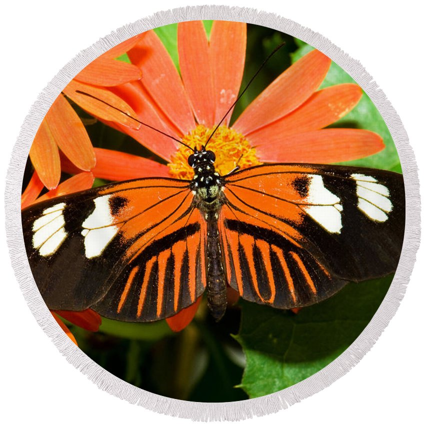 Tropical Butterfly Round Beach Towel featuring the photograph Madeira Butterfly by Millard H. Sharp