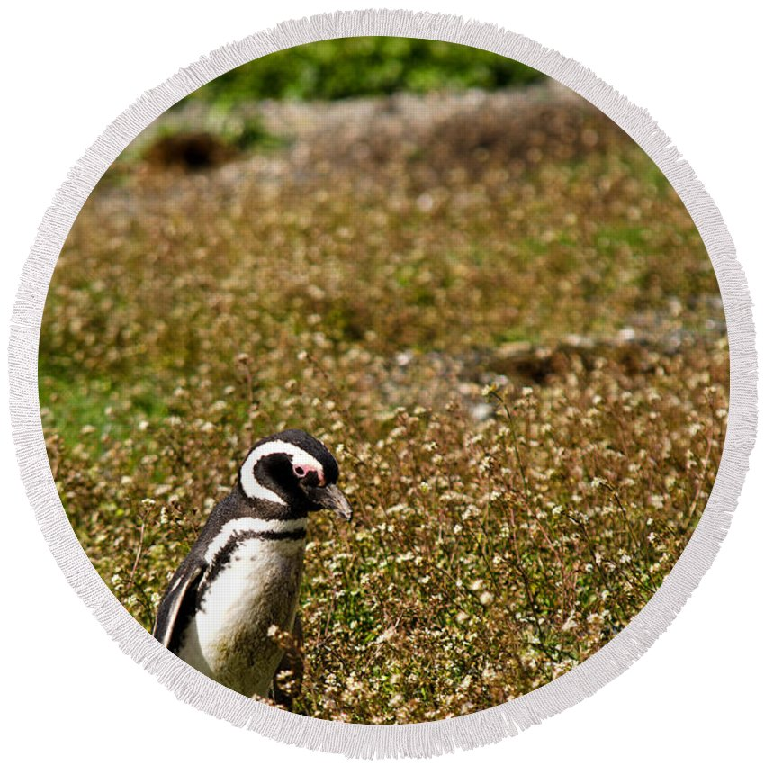 Penguin Round Beach Towel featuring the photograph Magellanic Penguin On Martillo Island In Patagonia by Ralf Broskvar