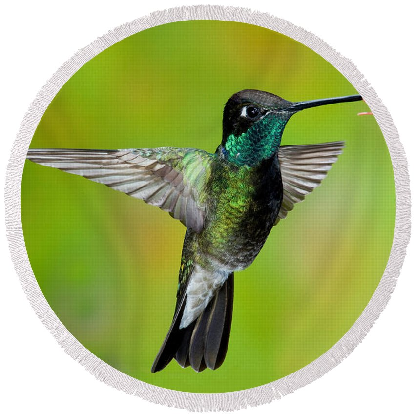 Fauna Round Beach Towel featuring the photograph Magnificent Hummingbird by Anthony Mercieca