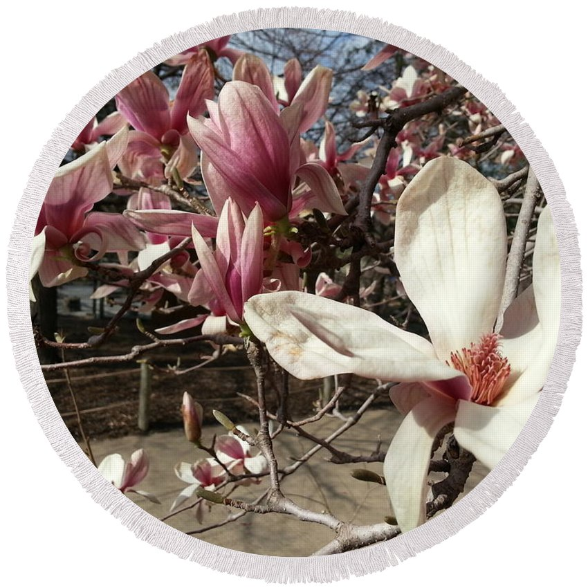 Pink Round Beach Towel featuring the photograph Magnolia Branches by Caryl J Bohn