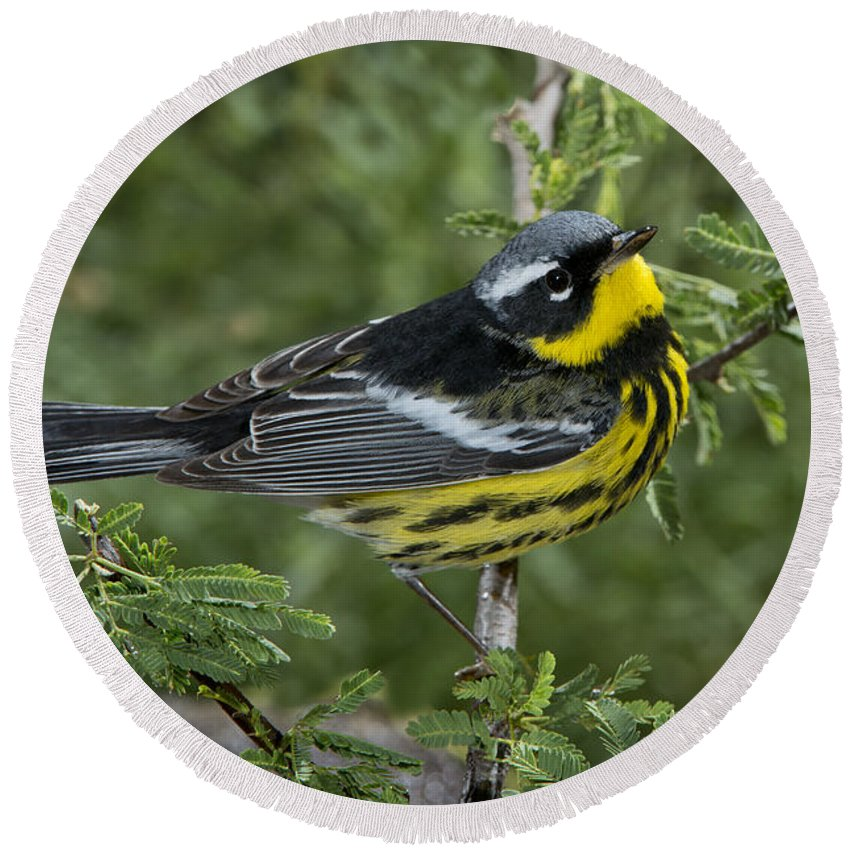 Magnolia Warbler Round Beach Towel featuring the photograph Magnolia Warbler by Anthony Mercieca