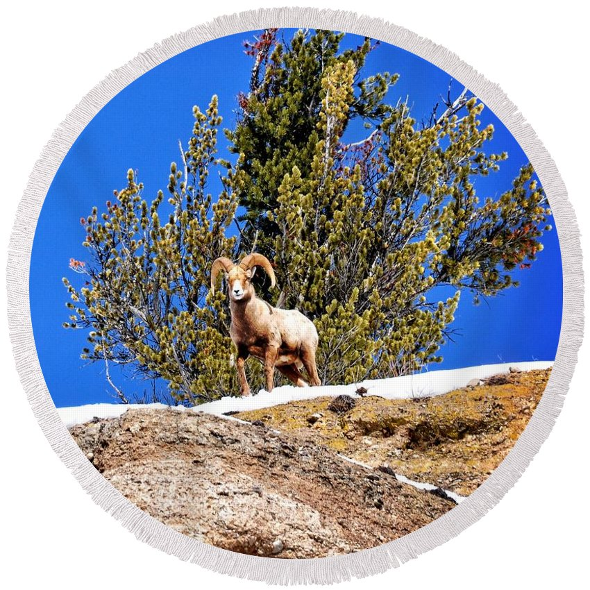 Hoback Junction Round Beach Towel featuring the photograph Majestic Big Horn Sheep by Image Takers Photography LLC